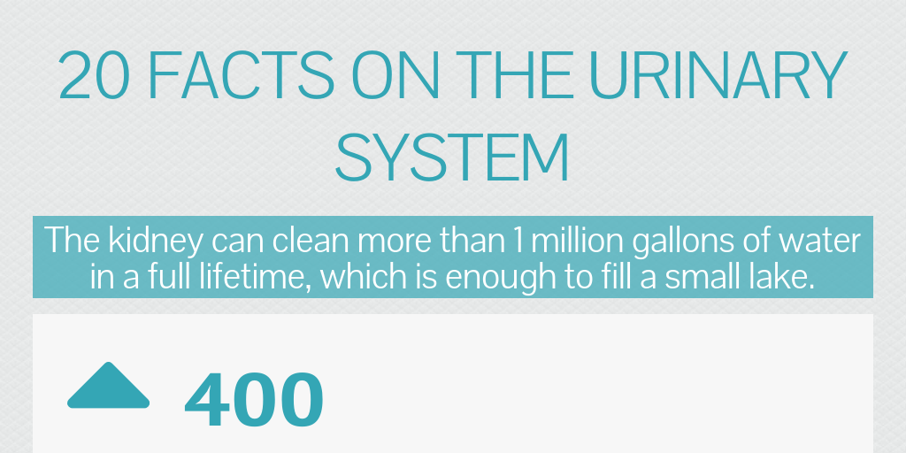 20 Facts On The Urinary System By Perri Dinnerman Infogram