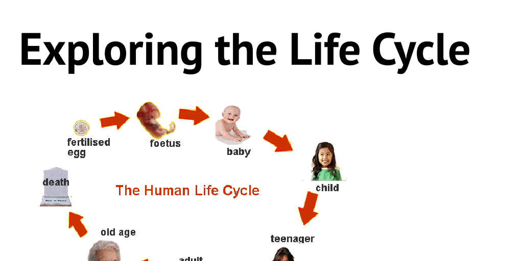 Exploring the Life Cycle by hannahlavada - Infogram